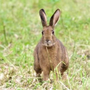 河川敷のノウサギ