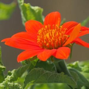 橙色のチトニア