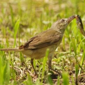 蛙を捕ったオオヨシキリ(若)
