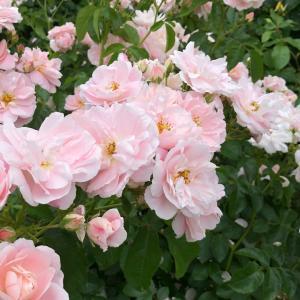 春のバラ ♪