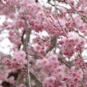 今年のお花見行って来ました!広域公園、旧JR安野駅