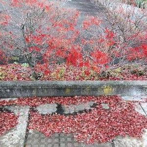 街路樹の赤い紅葉が歩道に散り敷いて