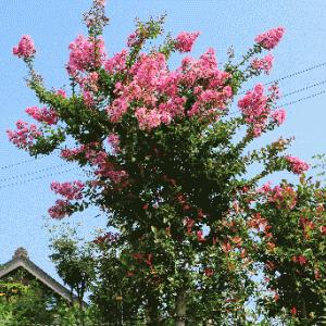 垣根に赤い花咲いて