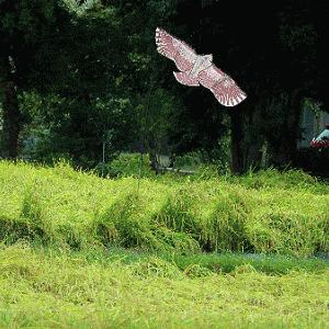 あんれま 猛禽の鷹が空に舞ってるよ