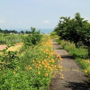 オオキンケイギク咲く散歩道