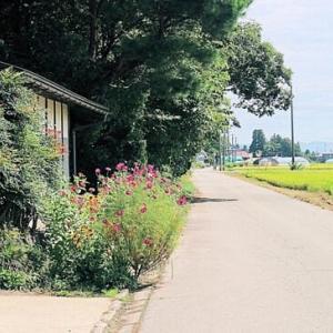 コスモスの花咲いて嬉しい村の道