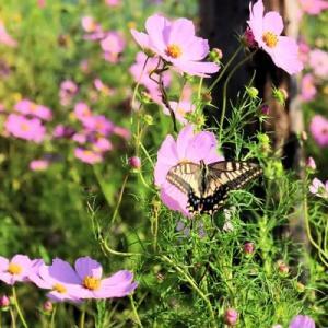 コスモスの花の蜜求めてキアゲハチョウがやってきた