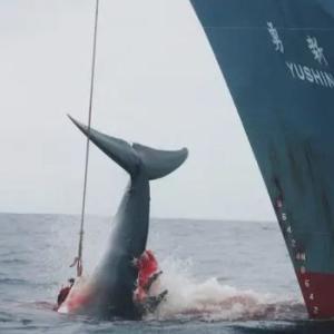 日本の捕鯨の問題