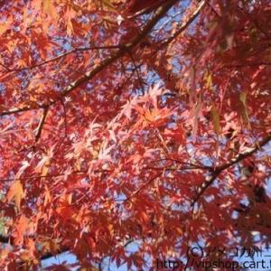 日本の紅葉とお空の思い出エピソード