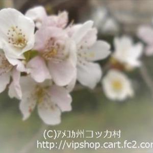 満開宣言 冬に咲く桜