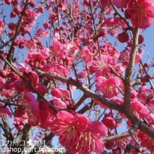 立春に河津桜開花! 梅満開直前 @近畿