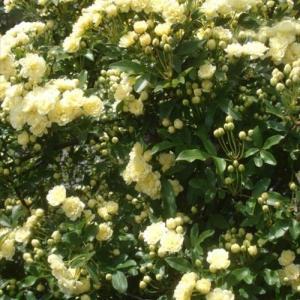 庭花 粘着性のハートのお花の名前が判明したよ~