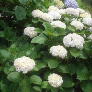 庭花 満開の紫陽花と旅するメロン ★ 魅惑の大人味アイス