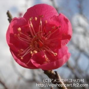 紅梅満開 梅林でしばしお花見してきました