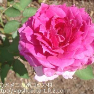 秋薔薇が咲き始めたよ~ ★庭花 アマリリス開花