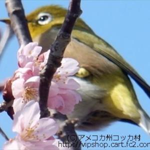 3種の桜満開 メジロっちとお花見