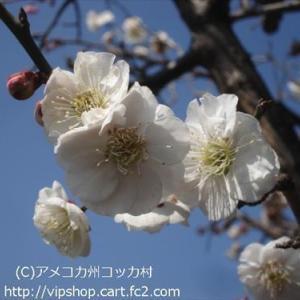 庭花 1本の木に2色で咲く梅満開