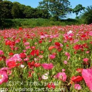 風に踊る満開のポピー 足元の小花たち