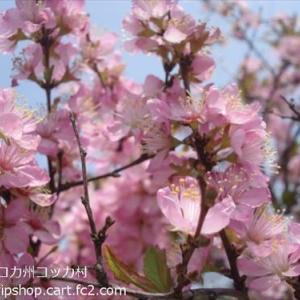 桜満開宣言 & 春爛漫の庭花の様子