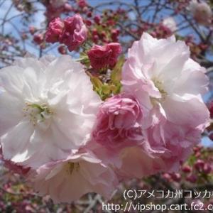 お花見 種類いろいろ八重桜 黄色い桜も咲いてるよ