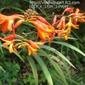 かわいい星のアンブレラ咲いたよ 7月の庭花