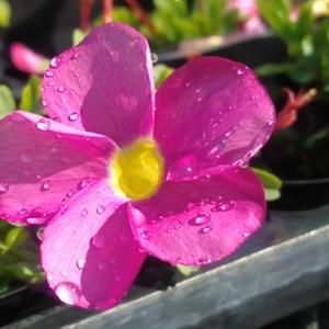 花言葉は 輝く心