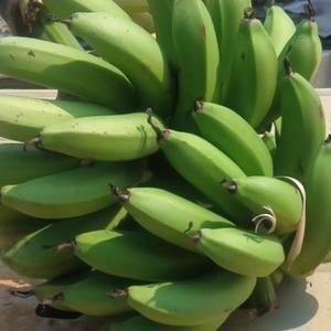 三尺バナナ 収穫