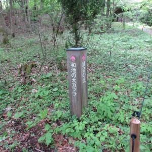 兵庫絶景旅3 和池の大カツラ