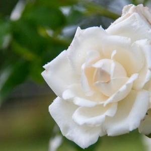 日本国花苑・バラ園 ⑤