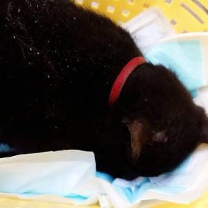 拡散希望:三重県 事故に遭った猫ちゃんが保護されました