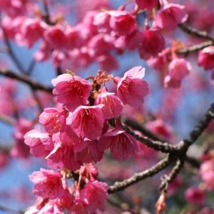 緋寒桜20200208(その2)