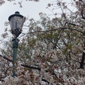 2020 東京 市ヶ谷 外堀通り 桜風景 点描