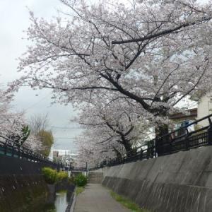 2020 川崎 今井桜 点描