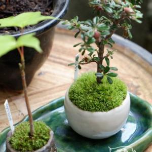 ミニ盆栽の鉢を買っちゃいました