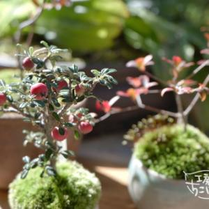 「カフェおきもと」と我が家の小さな秋 盆栽