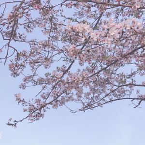 桜巡ってきました。