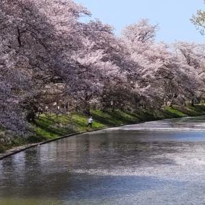 今年のお花見散歩は福岡堰