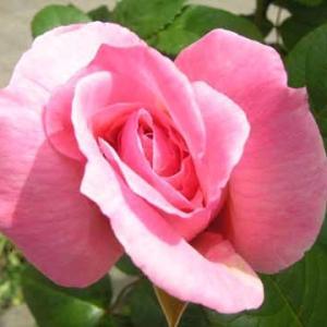 バラが咲き始めた