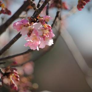 早春桜、陽に