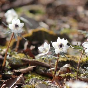 春の森 Spring ephemeral、節分草