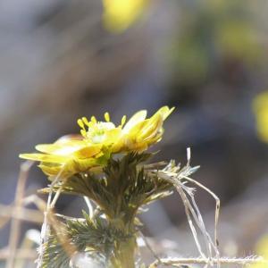 春の森 Spring ephemeral、福寿草