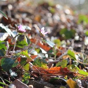 春の森 Spring ephemeral、薄紅三角草