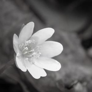 三角草、春の蓮台×monochrome