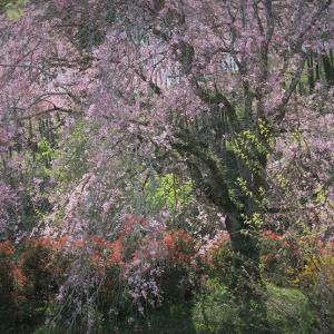 里山の春、紅枝垂桜