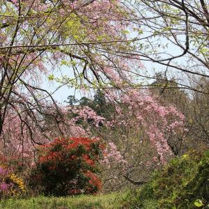 里山の春、紅枝垂桜が招く