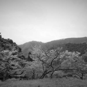 里山桜、春の巨樹×monochrome
