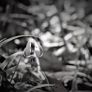 片栗、春の提灯×monochrome