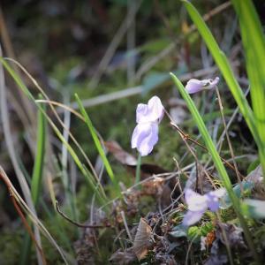 里山の春、菫ひだまり