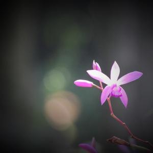 皐月の胡蝶、紫蘭