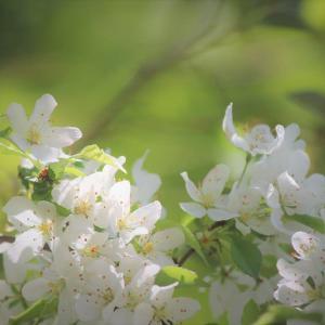 皐月の森、光る花―小林檎